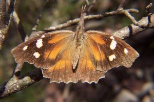 American Snout Butterfly, photo via wikipedia