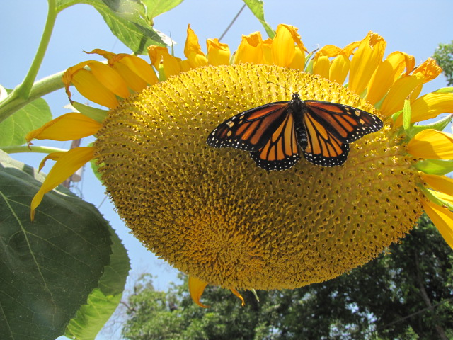 Monarch butterfly on Mammoth Sunflower