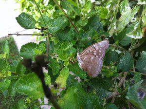 Empress Louisa butterflies at the Alamo B & B Inn