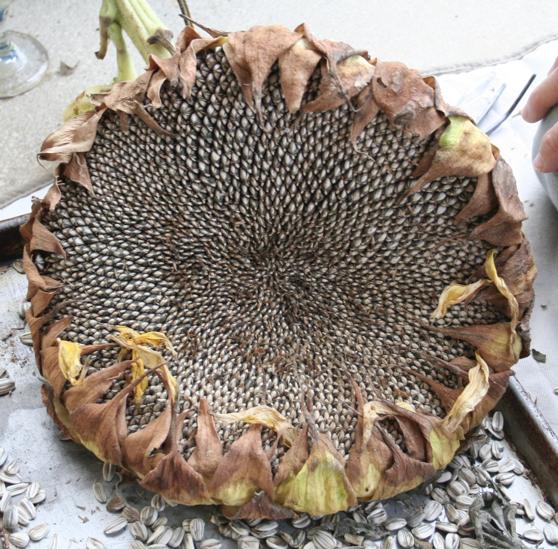 Dried sunflower head ready for harvest.