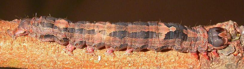 Black Witch Moth Caterpillar