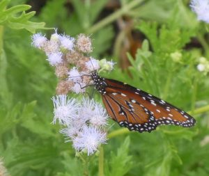 Male Queens LOVE purple mistflower