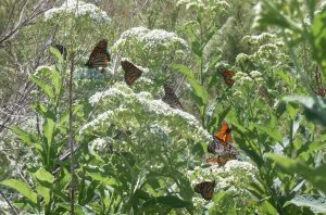 Monarch butterflies are on their way