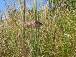 Monarch nectaring on swamp milkweed
