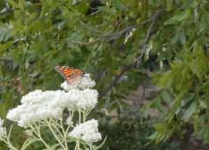 Monarch butterfly on Water Hemlock
