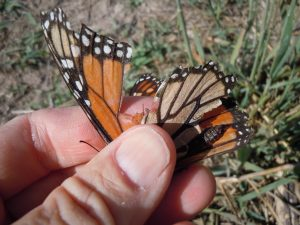 Raggedy Monarch butterfly