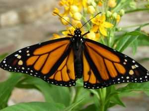 Male Monarch Butterfly