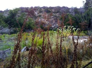 Parched Goldenrod on the Llano River