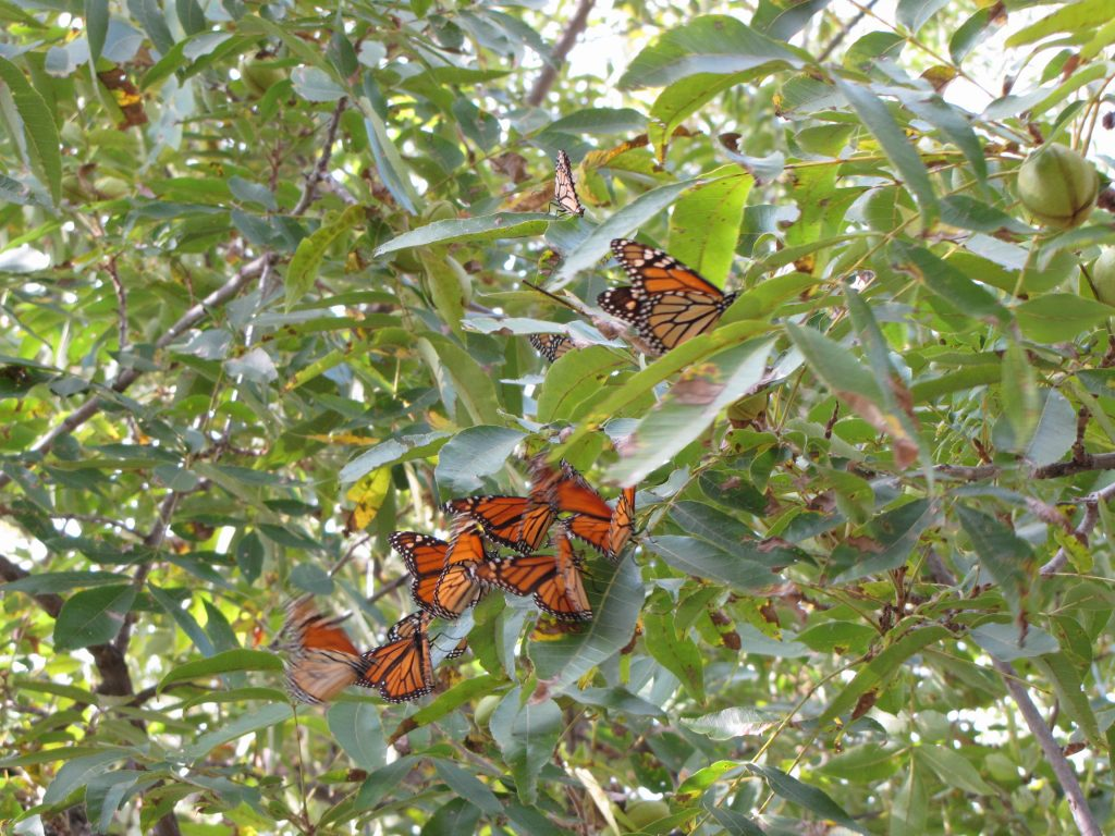 Monarch Butterflies Stalled in Pecan Trees on the Llano River