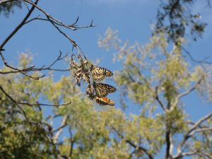Monarch butterflies hold onto a pecan tree branch
