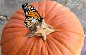 Monarch butterfly season comes to a close