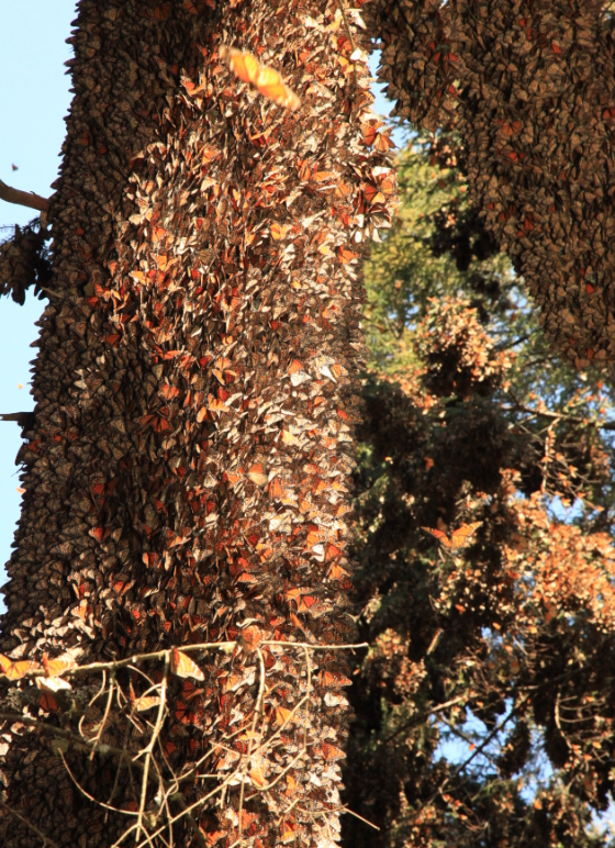 Monarch butterflies cluster on Oyamel Trees in Michoacan