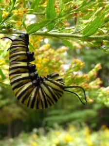Late blooming Monarch caterpillar forms its chrysalis