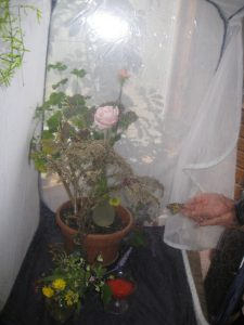 Net cage for Monarch butterfly in New York