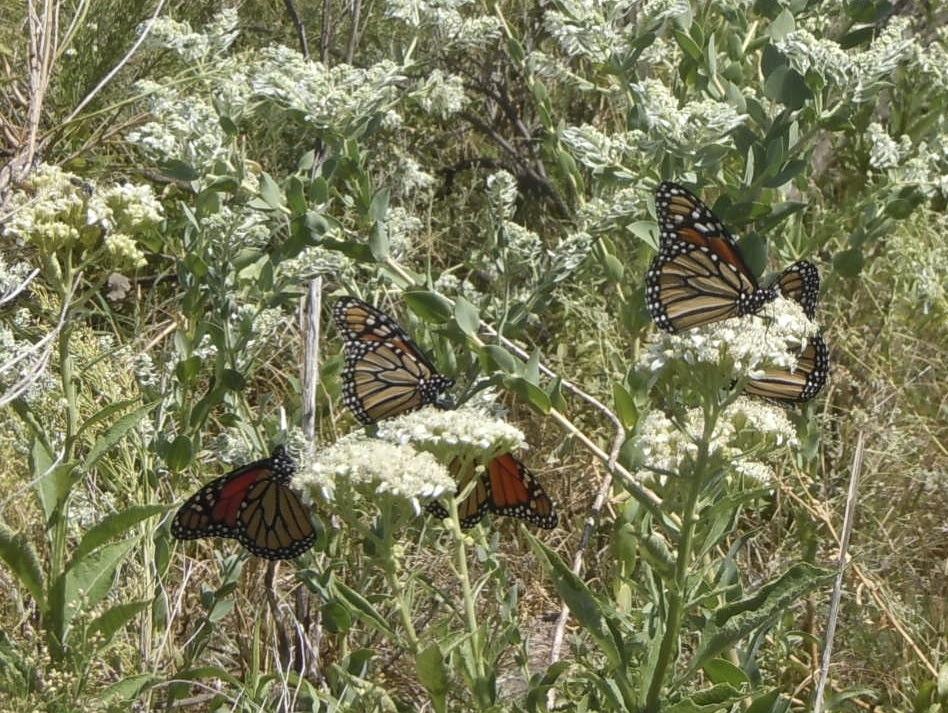 monarchsonfrostweed