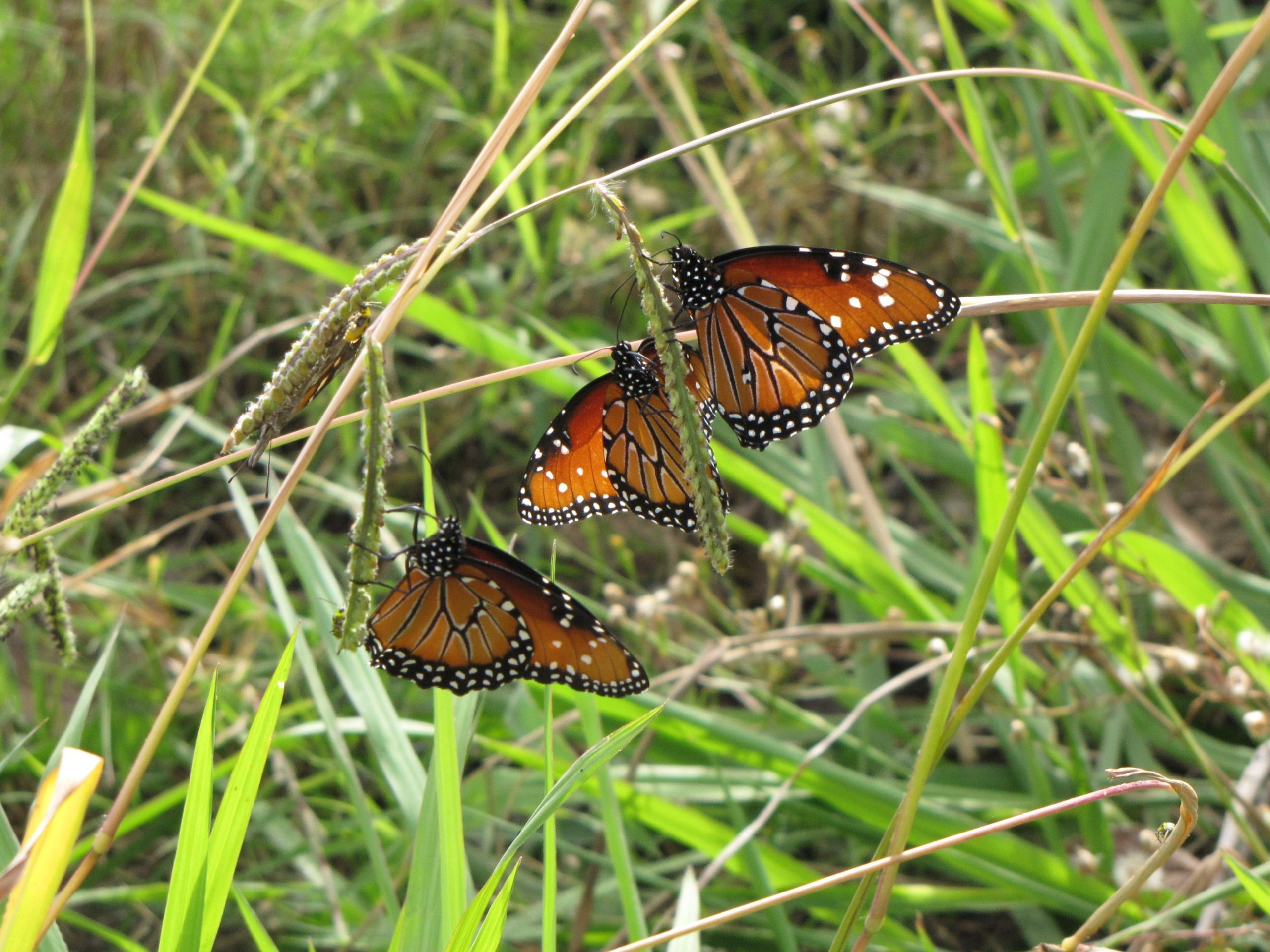 Three Queen butterflies