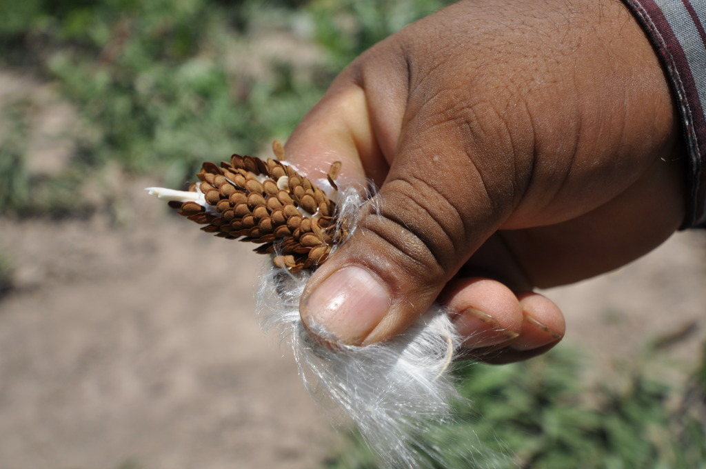 Want native Texas milkweed?  Start with seeds.  Photo courtesy Native American Seed Co.