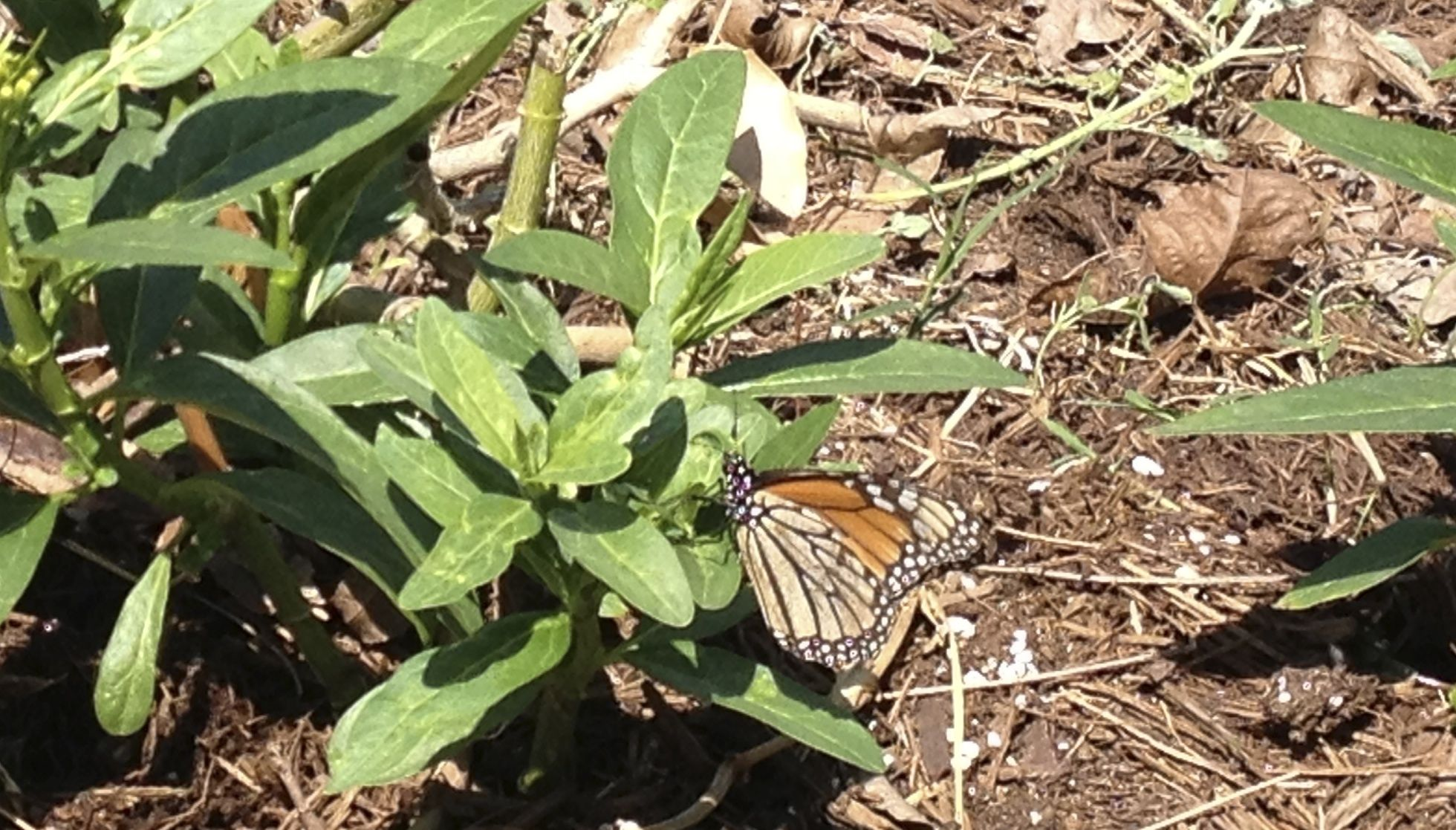 FOS Monarch butterfly