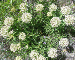 Antelope horns milkweed, a Monarch butterfly host plant, in bloom. Photos by Native American Seed