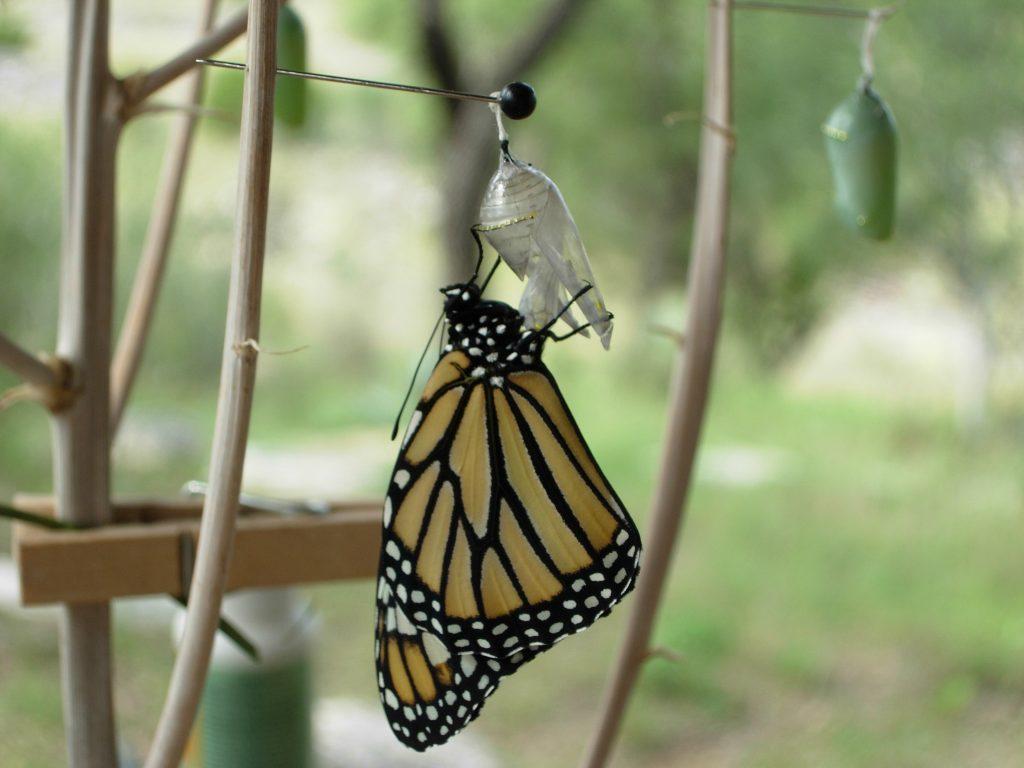 Newborn Monarch Butterfly