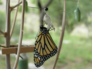 Newborn Monarch butterfly