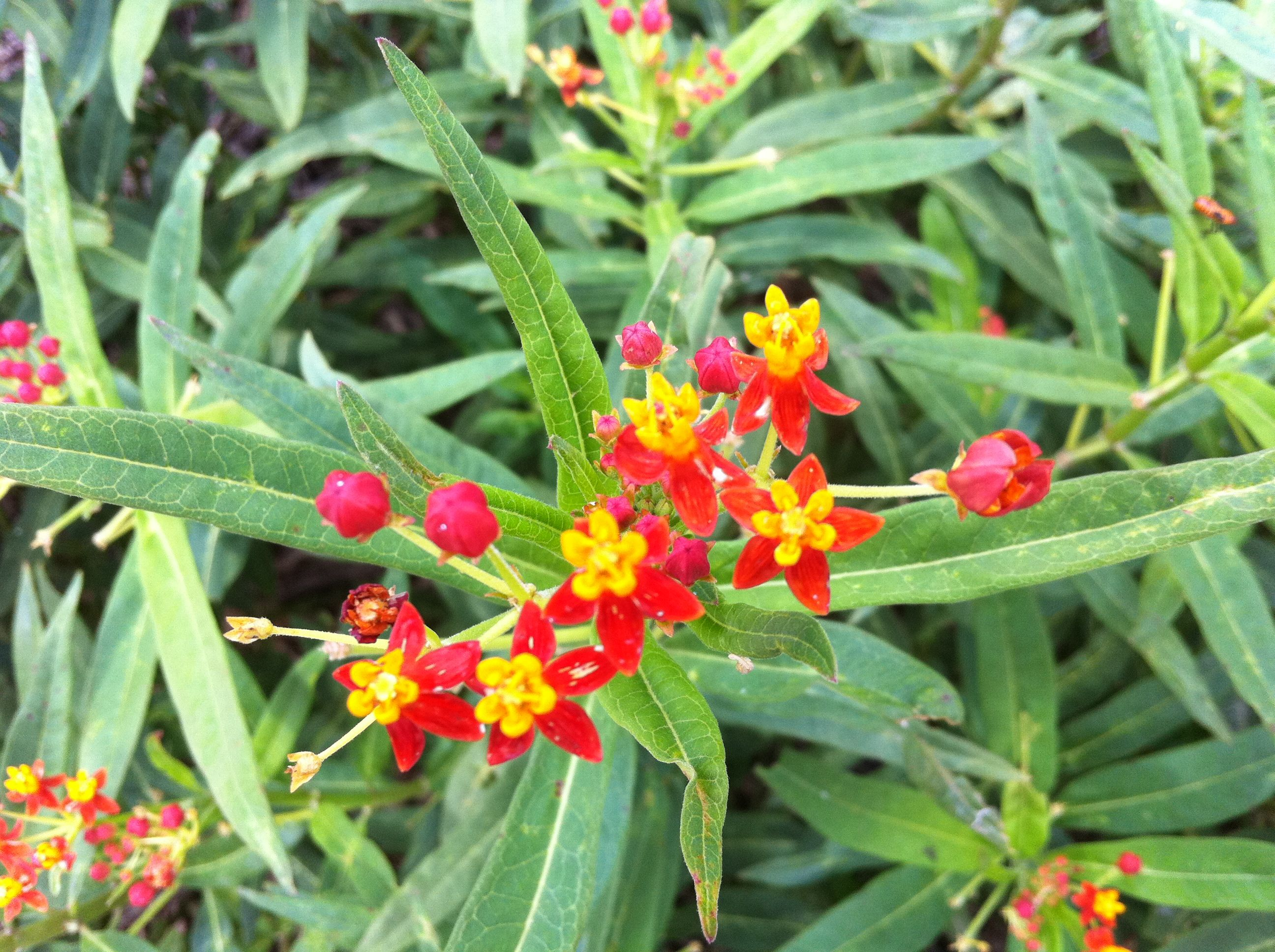 Asclepias Curassavica, Tropical Milkweed, NOT Native, But A Great Monarch  Host And Nectar