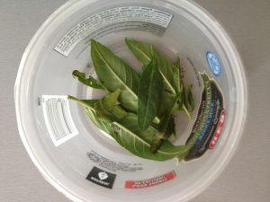 Seven baby Monarch caterpillars