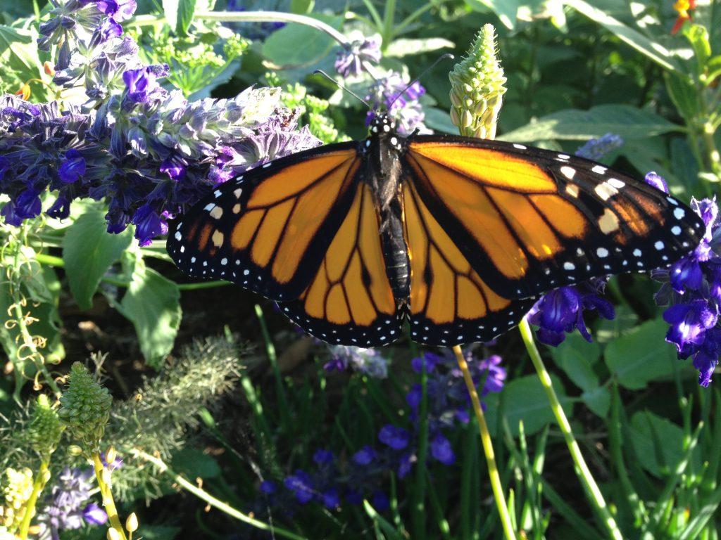 Newborn male Monarch