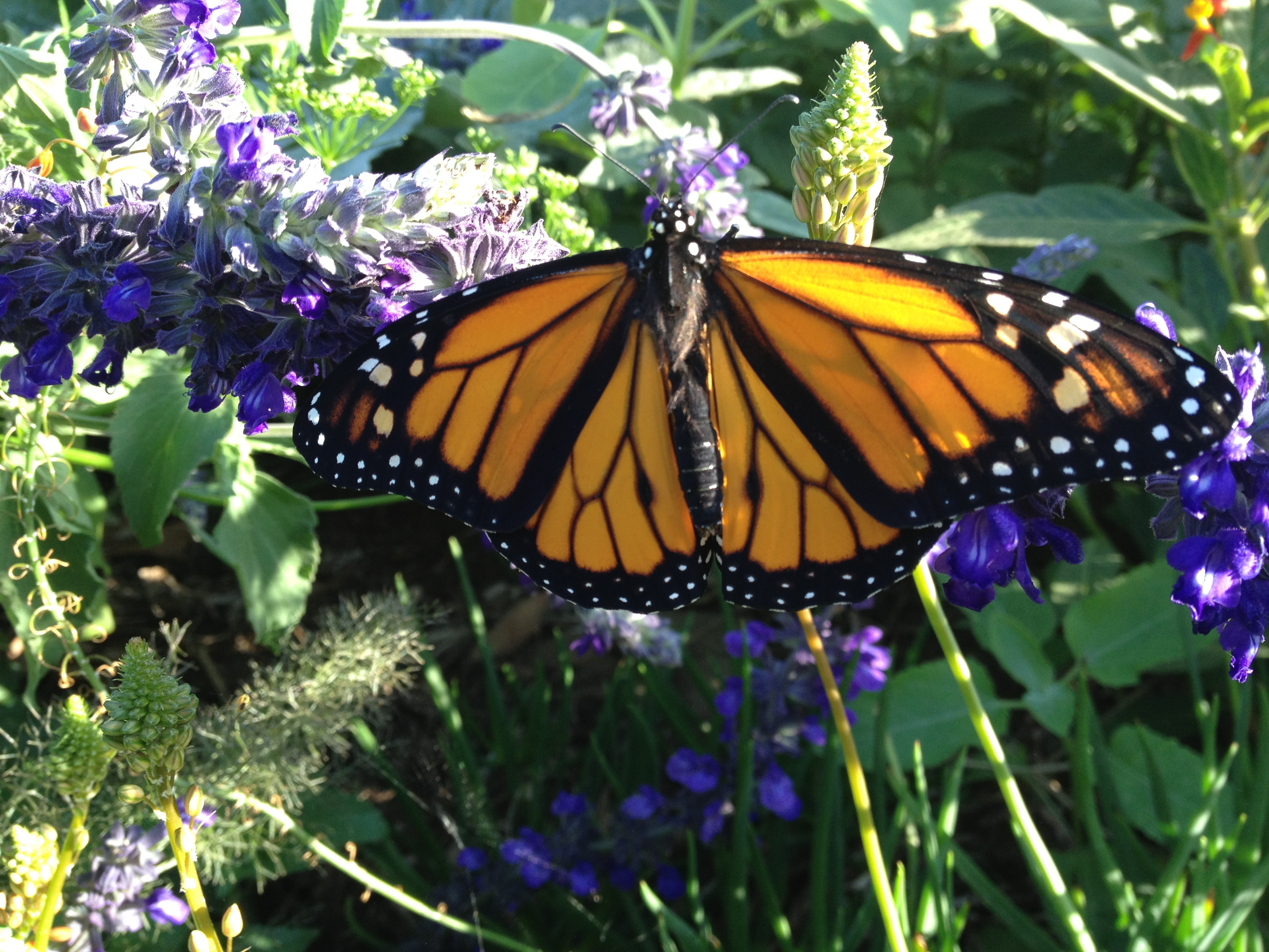 Part Two More Tips For Raising Monarch Caterpillars And Butterflies At Home Texas Butterfly Ranch