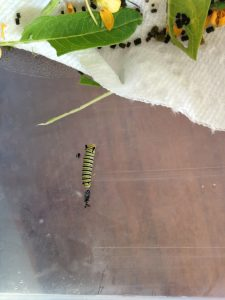 Caterpillar just shed its skin