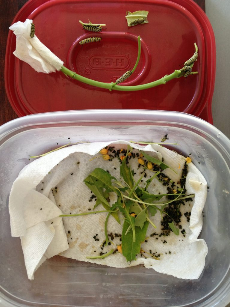 Move caterpillars from container to assist in easy clean-up