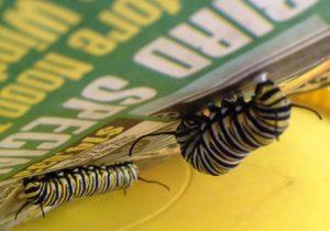Caterpillar spinning silk