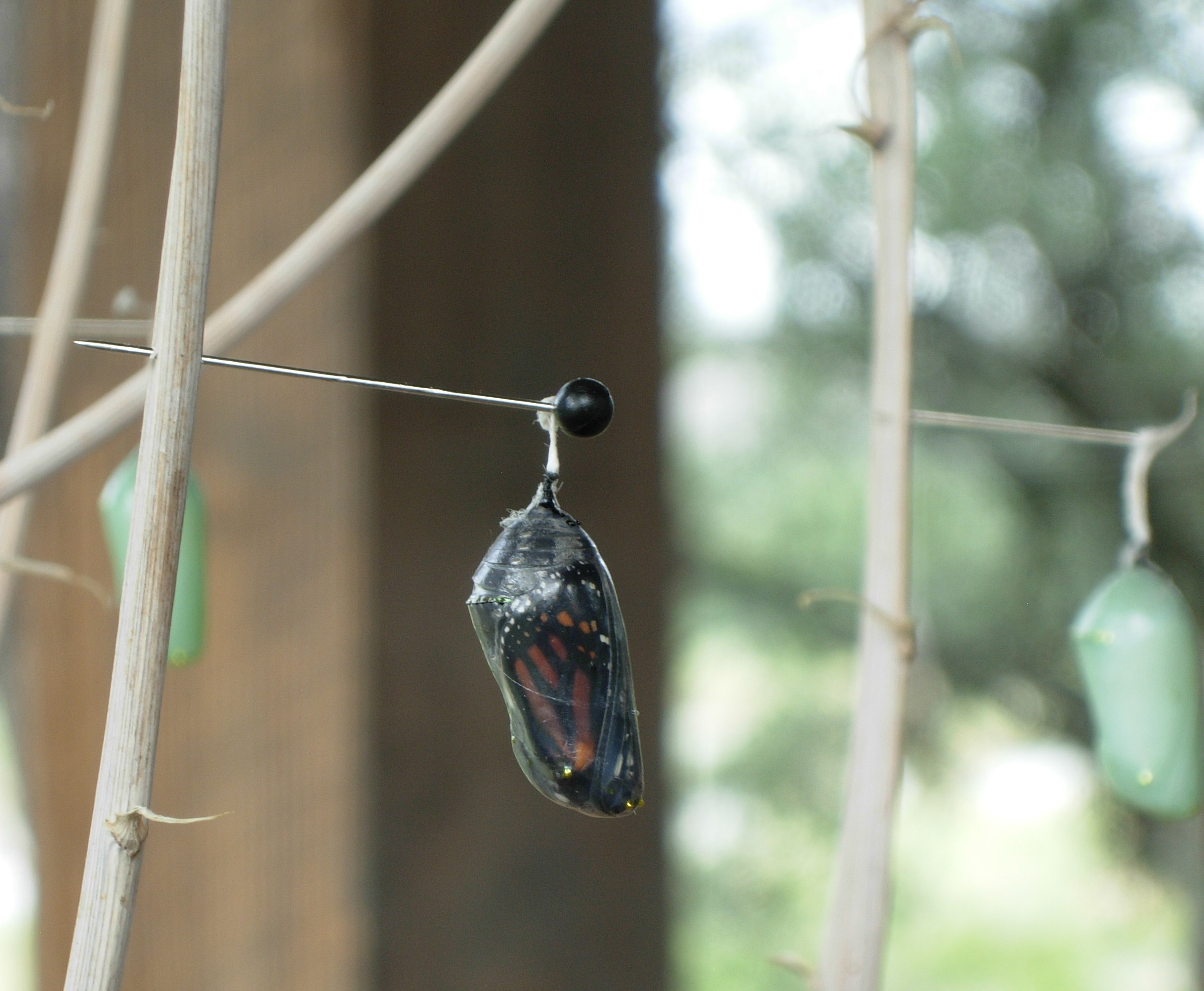 clear chrysalis
