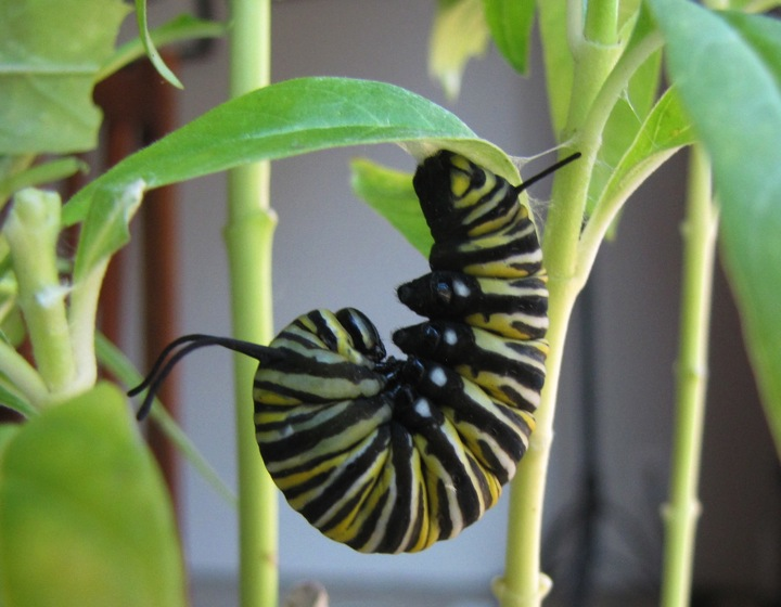 About to go chrysalis, he's forming his j-shape. Photo by Monika Maeckle