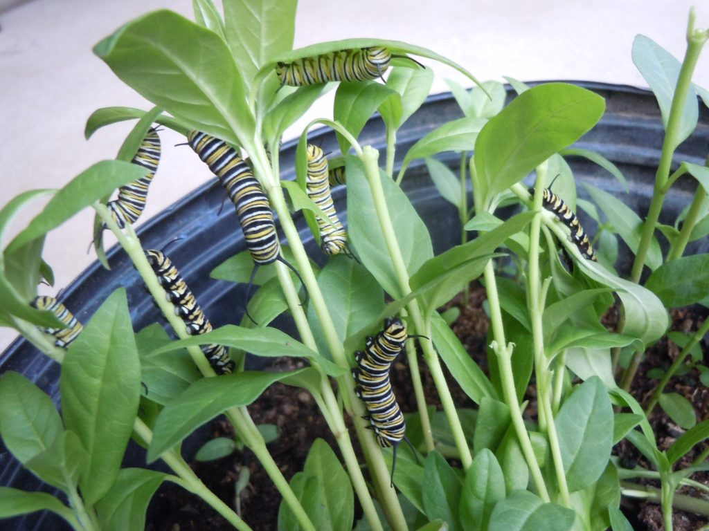 Monarch caterpillars brought inside for fostering, harvested from our front yard, March 2012.  Photo by Monika Maeckle
