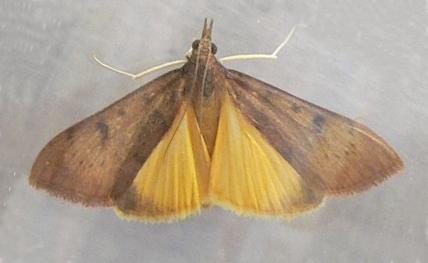 Genista Broom Moth,  photo via http://wildflowers.jdcc.edu