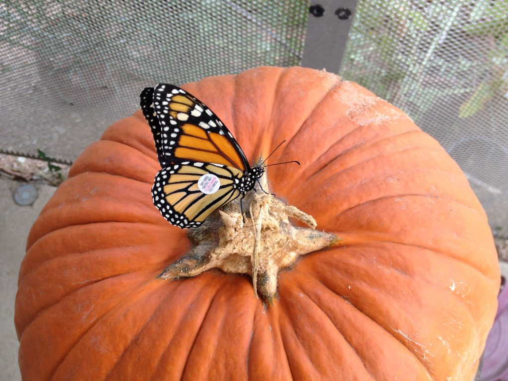 Tagged Monarch butterfly on leftover Halloween pumpkin