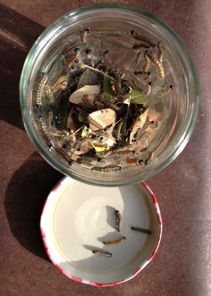 Genista moth caterpillars desinted for the freezer