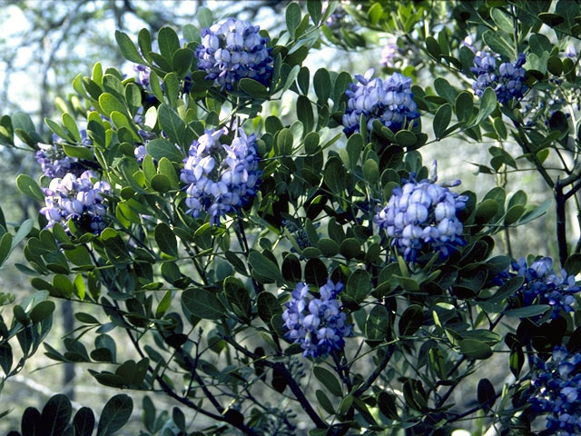 Texas Mountain Laurel, always a harbinger of spring in the Hill County Photo via Ladybird Johnson Wildflower Ctr.