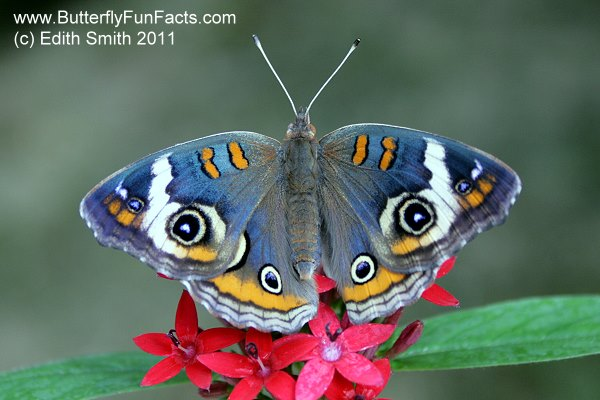 Shady Oak has mastered breeding the uncommon Blue Buckeye.  Photo via Edith Smith, Shady Oak Butterfly Farm