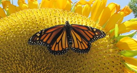 In the butterfly breeding business, Monarchs are the money crop.  --Photo by Monika Maeckle