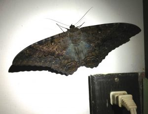 Black WItch Moth Huatulco