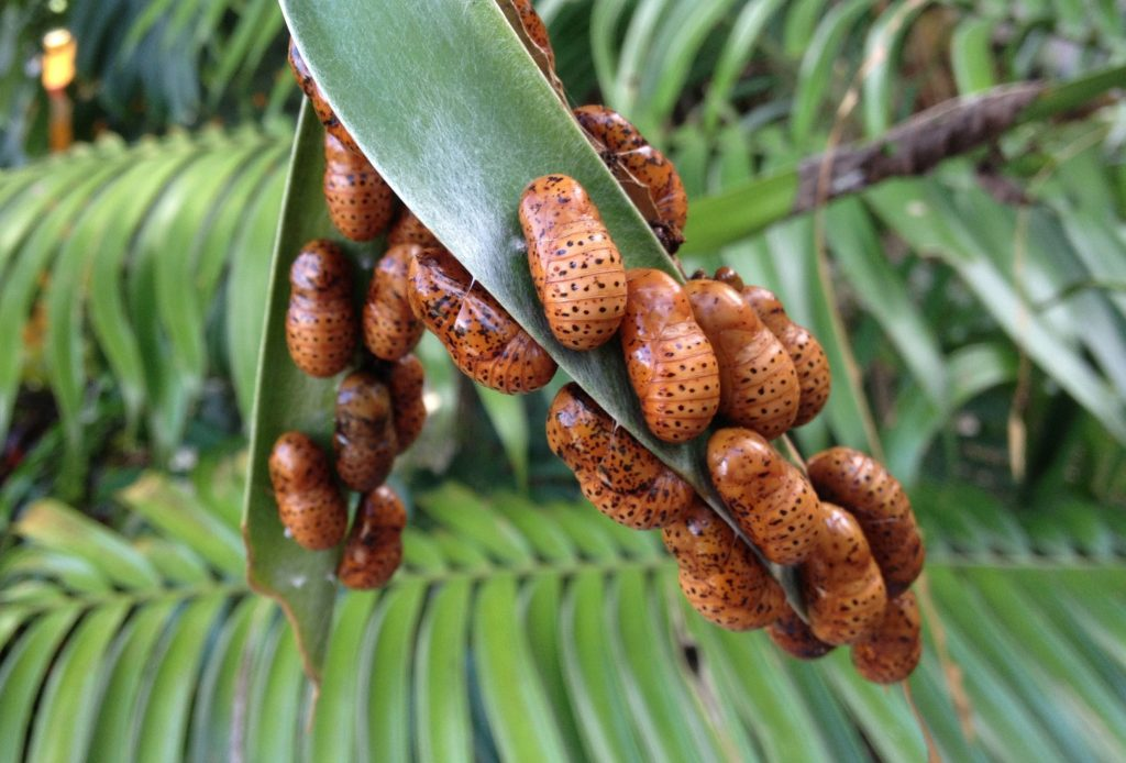 Superb Cycadian chrysalises