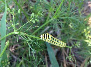 Swallowtail caterpillar on wild parsley