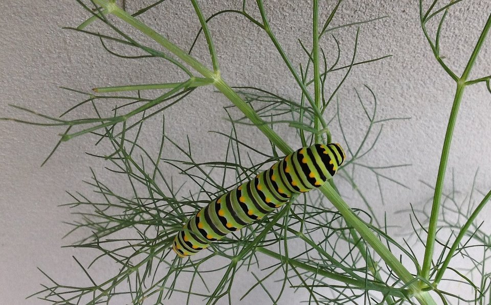 Eastern Swallowtail caterpillar on fennel, one of its host plants.  Photo by Monika Maeckle