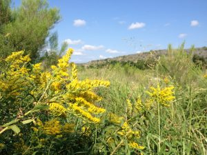 Goldenrod on the Llano