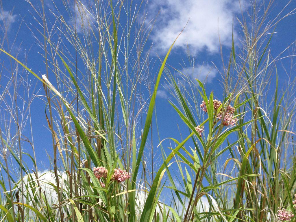 Swamp milkweed, Asclepias incarnata