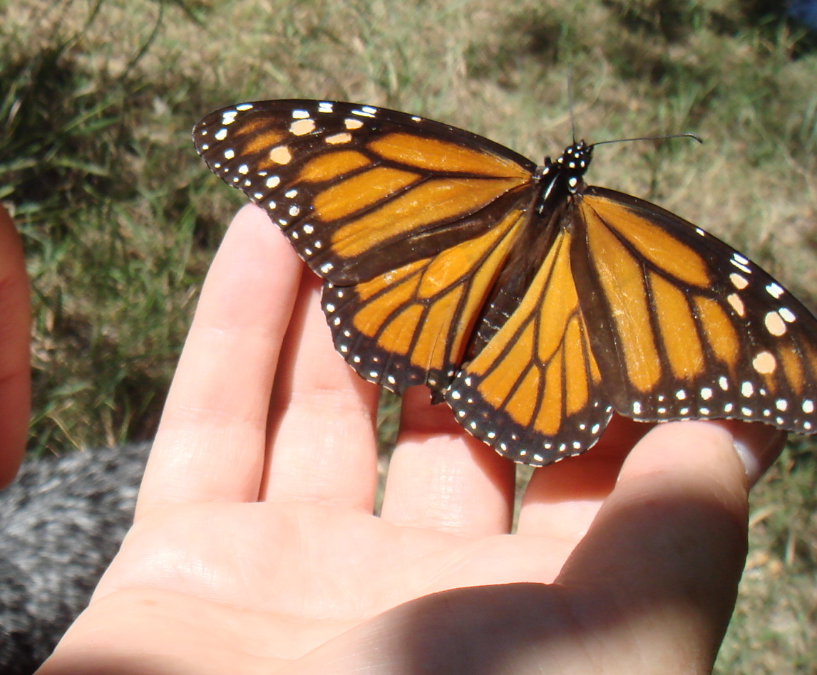 Monarch on the Llano River