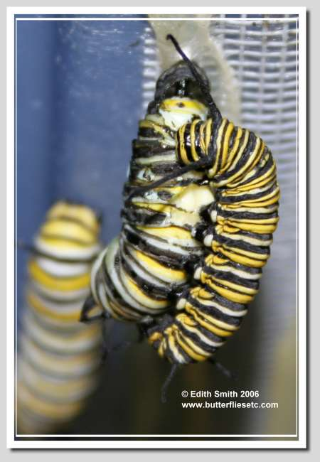 Monarch Caterpillar cannibalism