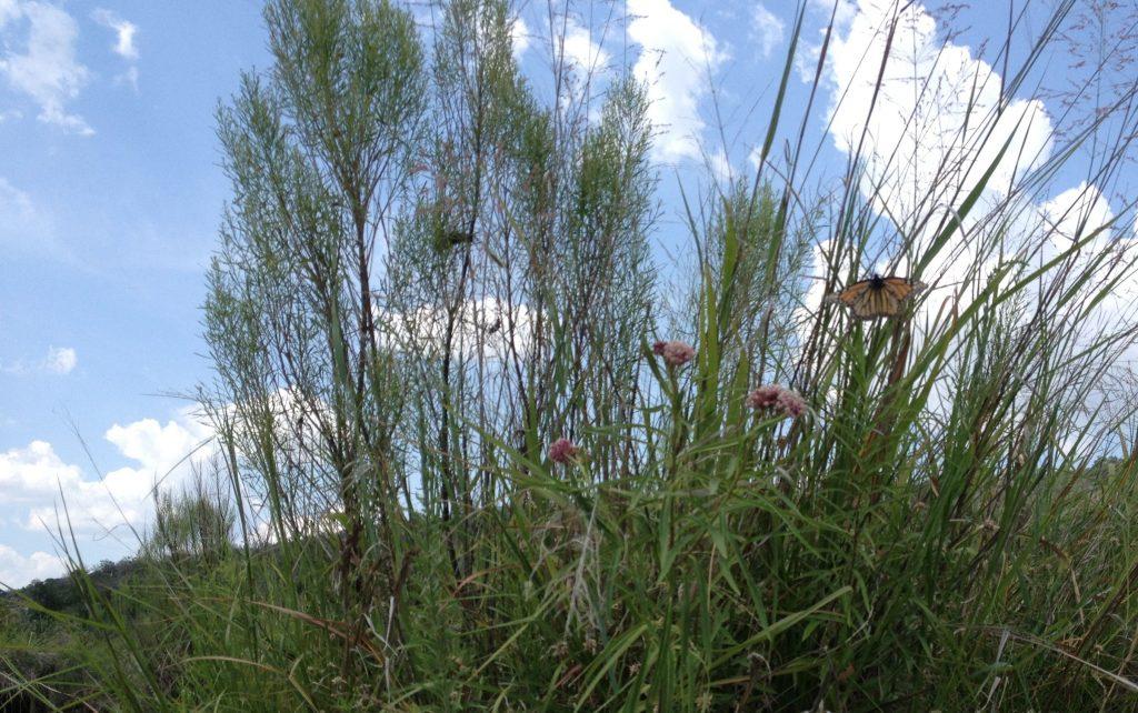 Female monarch lays eggs on Swamp milkweed on Llano